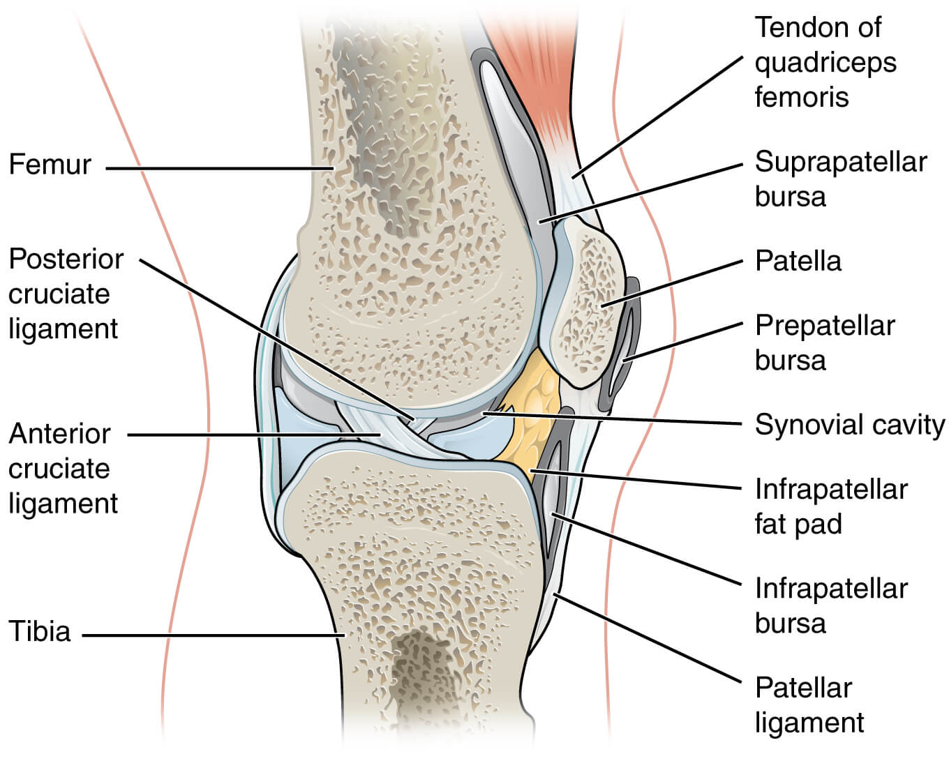 5 vital principles to eliminate knee pain aaron morton eat anatomical knee joint pooptronica Image collections