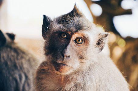 overweight monkeys